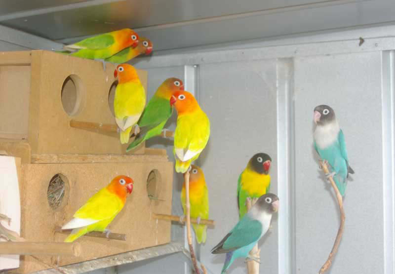 African love birds