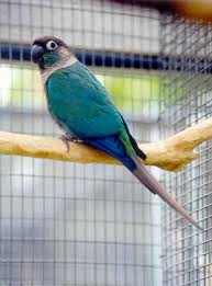 Blue yellow sided conure