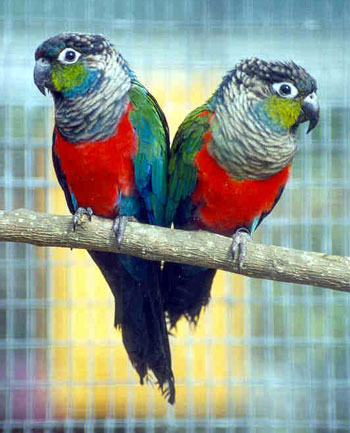 Crimson bellied conure