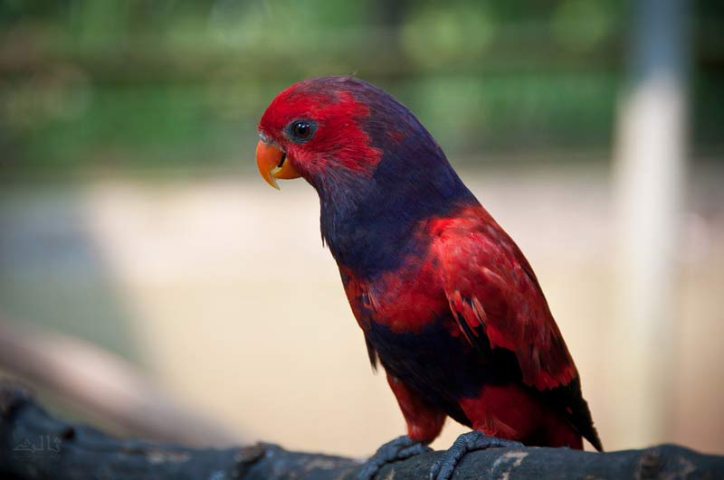 Violet necked lory