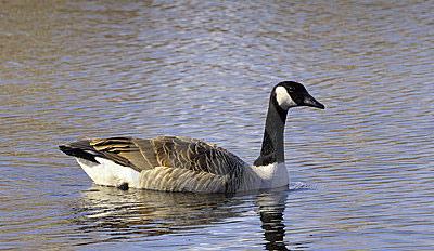 Water goose