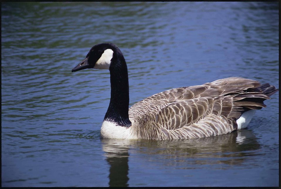 Water goose1